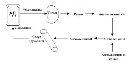 Как воздействует ренин на продуцирование гормонов