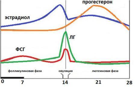 Лютеинизирующий гормон (ЛГ) обеспечивает правильную работу половых желез, а также выработку половых гормонов
