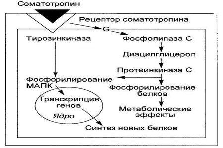 Соматотропин (СТГ)
