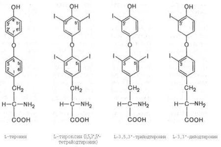 Роль тиреоидных гормонов